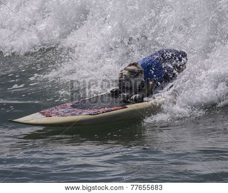 Bulldog catching a wave