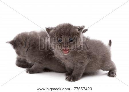 Adorable gray kitten meows at camera