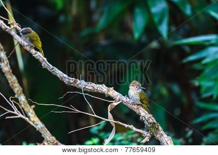 Mountain Bulbul ( Ixos Mcclellandii ) In Nature