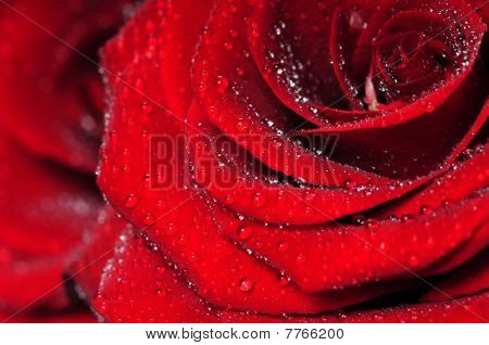 Macro de rosa vermelha