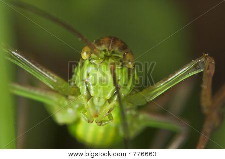 Grasshopper (steropleurus sp)
