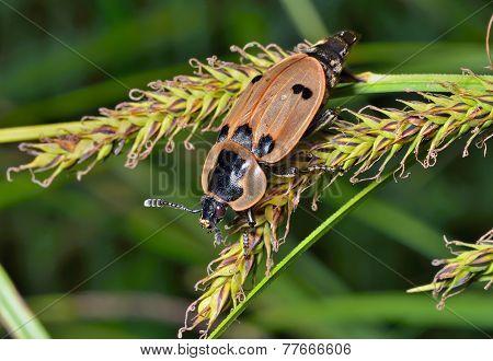 Beetle (silphidae)