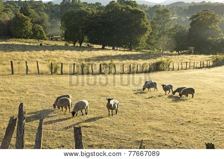 Sheep Grazing In Chile