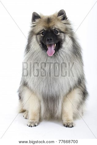 dog breed Keeshond on white background