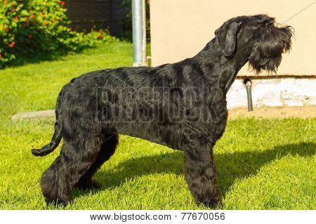 Giant Schnauzer Dog.