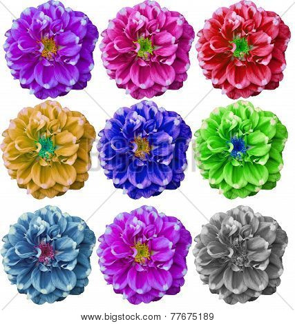 Colorful Dahlia Flower In White Background