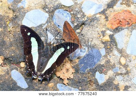 Top View Of Common Nawab Butterfly