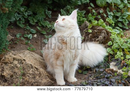 Maine Coon Looking Up