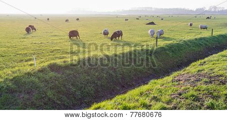 Grazing Sheep In Low Afternoon Backlit