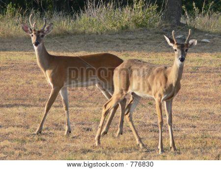 young bucks in velvet 2