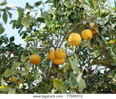 Yellow grapefruits