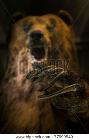Dangerous bear ready to hunt