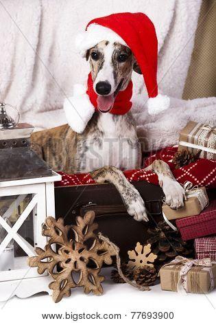 dog  whippet wearing a santa hat