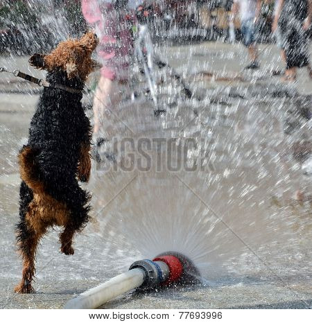 Dog Jumping In Water From Firehose