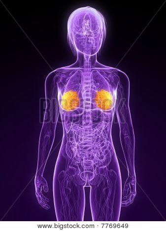 highlighted mammary glands