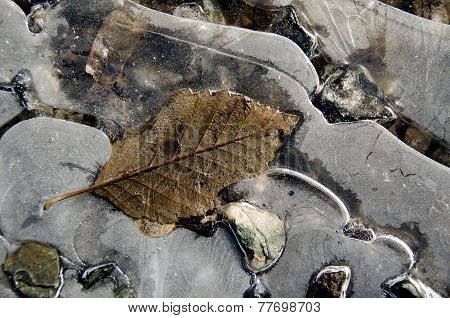Elm  Leaves Embedded Into A Layer Of Ice