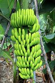 stock photo of banana tree  - Some Bananas stems can have a weight of more than 60 kg - JPG