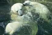 picture of polar bears  - Polar bear mother playing with her cubs in water - JPG