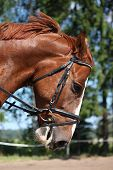 image of bridle  - Portrait of chestnut sport horse with bridle - JPG