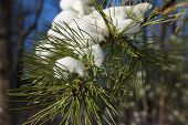 stock photo of pine-needle  - A branch of pine needles covered in snow - JPG