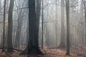 image of alder-tree  - Autumnal morning in the forest with mist and alder trees - JPG
