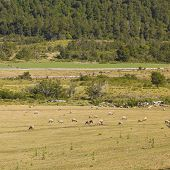 picture of gaucho  - Sheep grazing in the fields of southern Chile (Araucania Andean)