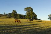 foto of gaucho  - Cows grazing in the fields of southern Chile  - JPG