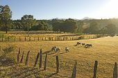 pic of gaucho  - Sheep grazing in the fields of southern Chile  - JPG