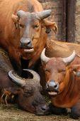 foto of dwarf  - African forest buffaloes  - JPG