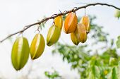foto of iron star  - fresh yellow star apple fruit in thailand - JPG