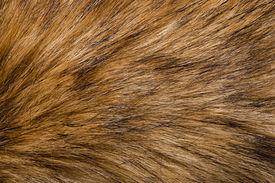 picture of raccoon  - raccoon fur - JPG