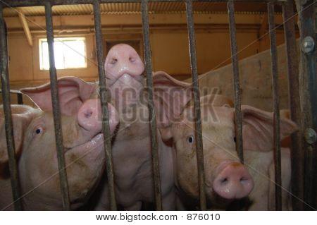 Pig Prison