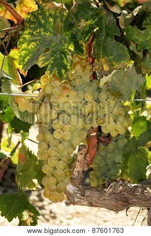 Ripe white grapes on the vine, Spain.