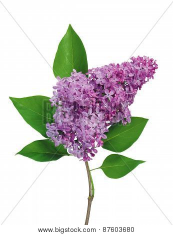 Beautiful Lilac Branch Isolated On White