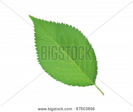 Beautiful Green Spring Leaf Isolated On White