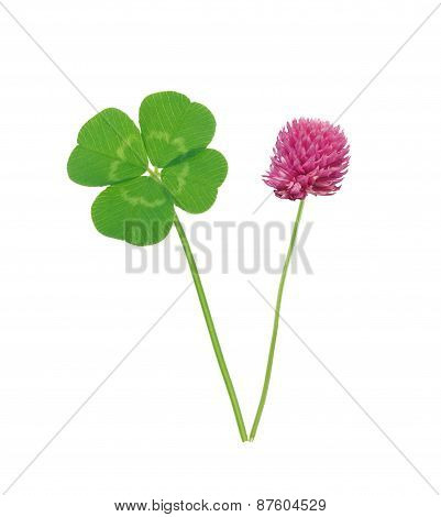 Leaf And Flower Of Clover Isolated On White Background