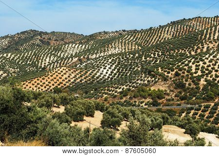 Spanish olive groves.