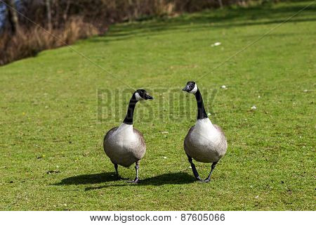 United Kingdom, Devon Goose in the Park, walking on the grass