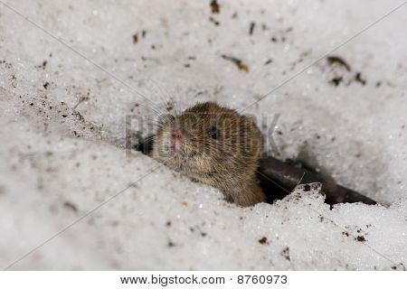 Clethrionomys Glareolus, Bank Vole