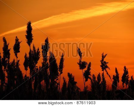 The bulrushes against sunset