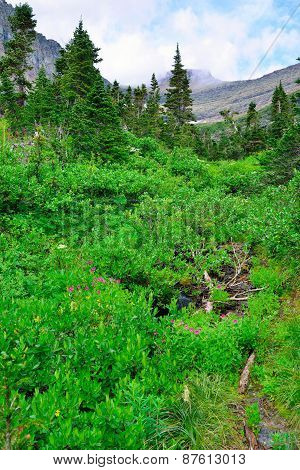 Wild Alpine Flowers And Conifer Forest In Front Of The  Mountains Of The Glacier National Park
