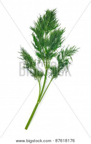 Branch Of Dill