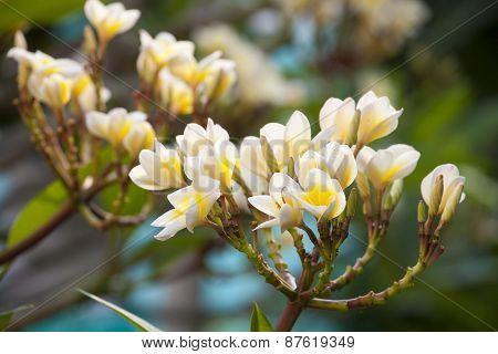 Beautiful Plumeria Flower And Blossom