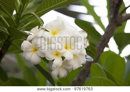 Bouquet Of Yellow Plumeria Or Frangipani Flower