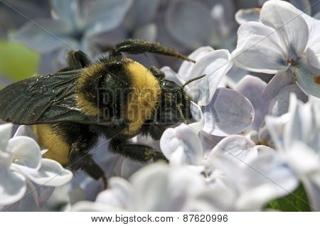 Bumble bee pollinating Lilac flowers