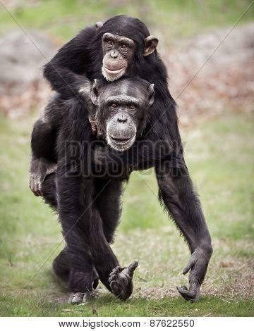 Chimpanzee Piggyback II