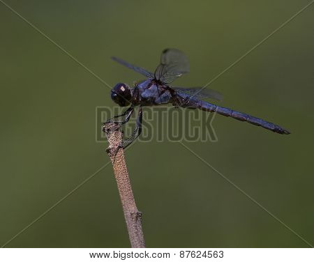 Purple Dragonfly Waiting On A Stick