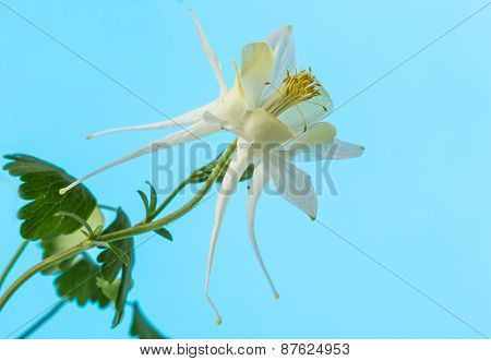 White Columbine Flower (aquilegial)  On Pastel Blue