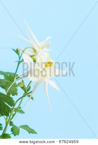 White Columbine Flower On Pastel Blue