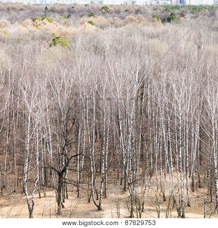 Above View Of Leafless Trees In Spring Forest